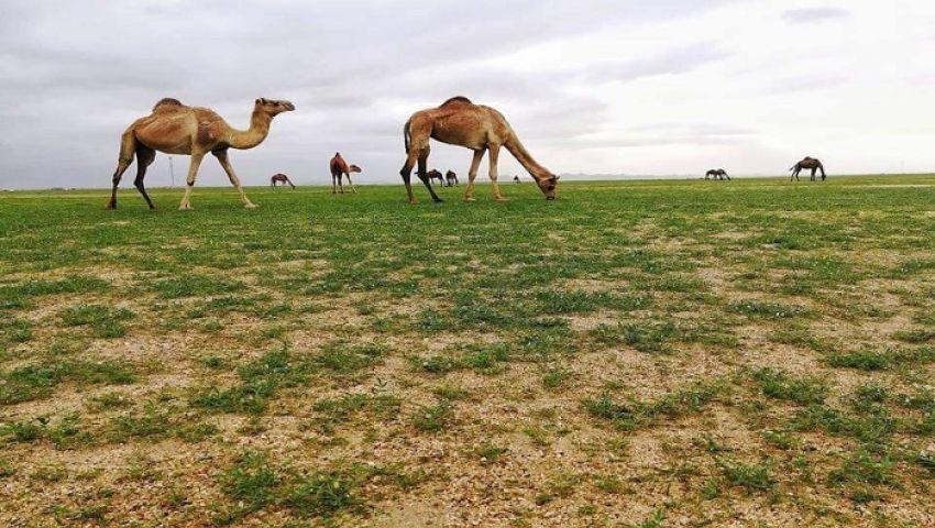صور  الأمطار تعيد الحياة لمراعي سيناء.. «لحوم وفيرة وألبان طبيعية»