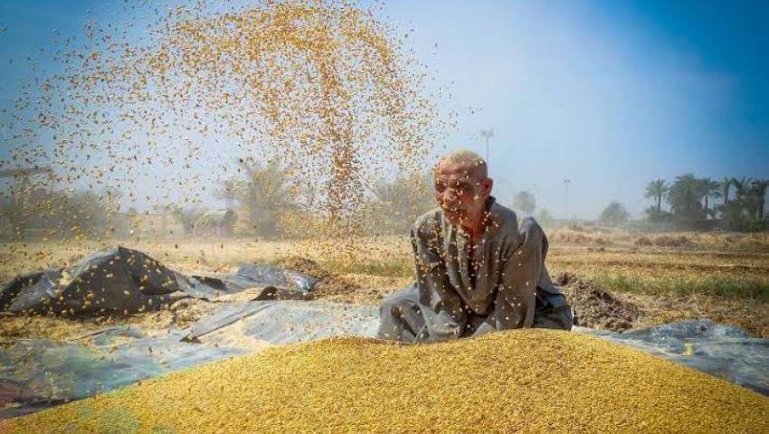 3.5 مليون فدان| نصائح وإرشادات مهمة لمزارعي القمح.. تعرف عليها