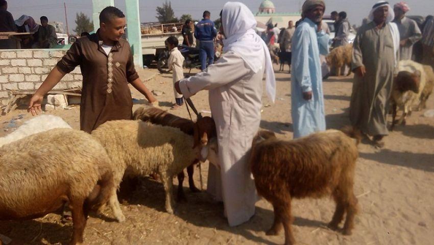 بالصور| ركود بأسواق الأضاحي البلدي في شمال سيناء.. والمستورد يكسب