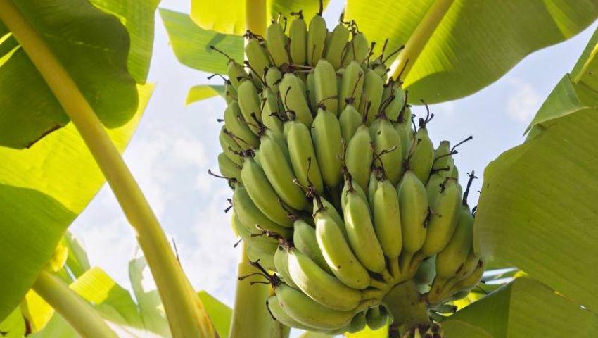 تعرف على توصيات وزارة الزراعة لزيادة انتاج موز