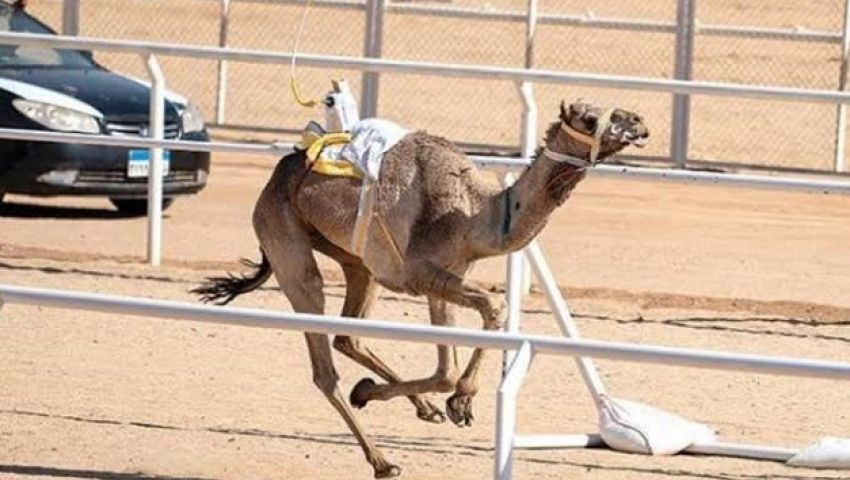 صور  سيناء تتزين استعدادًا لمهرجان الهجن برعاية إماراتية