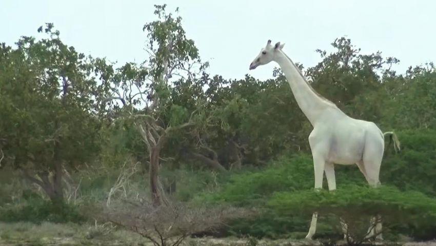 بالفيديو.. ظهور نادر لـ «الزرافة البيضاء» في كينيا
