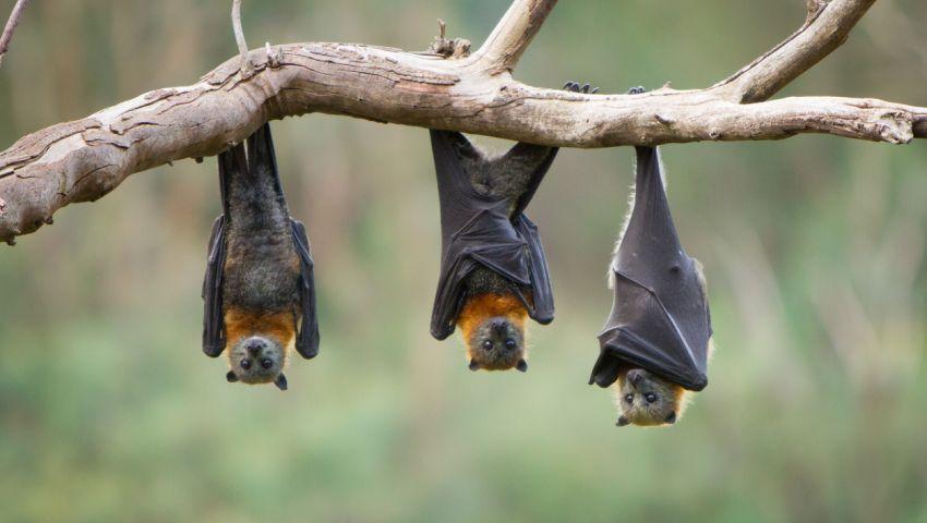 «فيروس نيباه» وباء مميت.. تنقله الخفافيش ويقتل 75% من المصابين