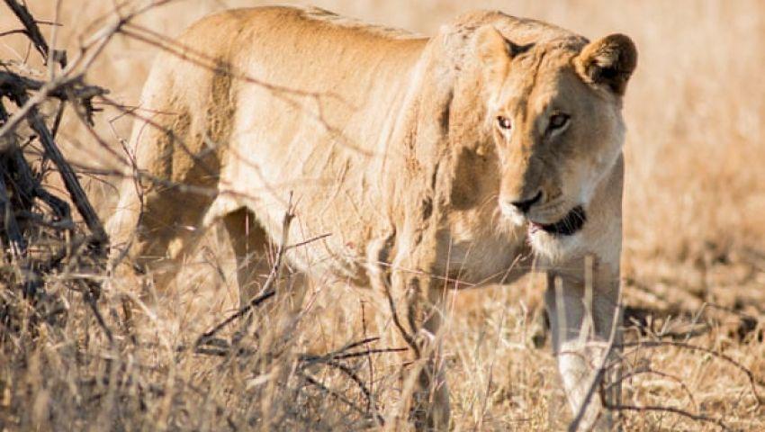 الجارديان: فرار 14 أسدا من الحديقة الوطنية يثير الذعر بجنوب أفريقيا