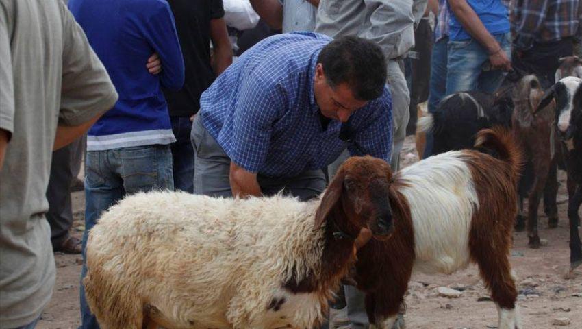 الزراعة تطرح أضاحي العيد بالمحافظات.. تعرف على الأسعار