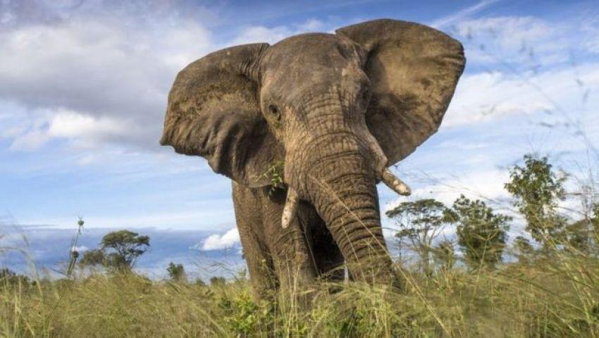أسوشيتد برس: زيمبابوي.. المجاعة تقتل 55 فيلاً في شهرين